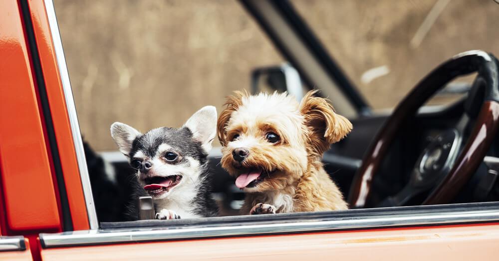 車に乗る犬の写真