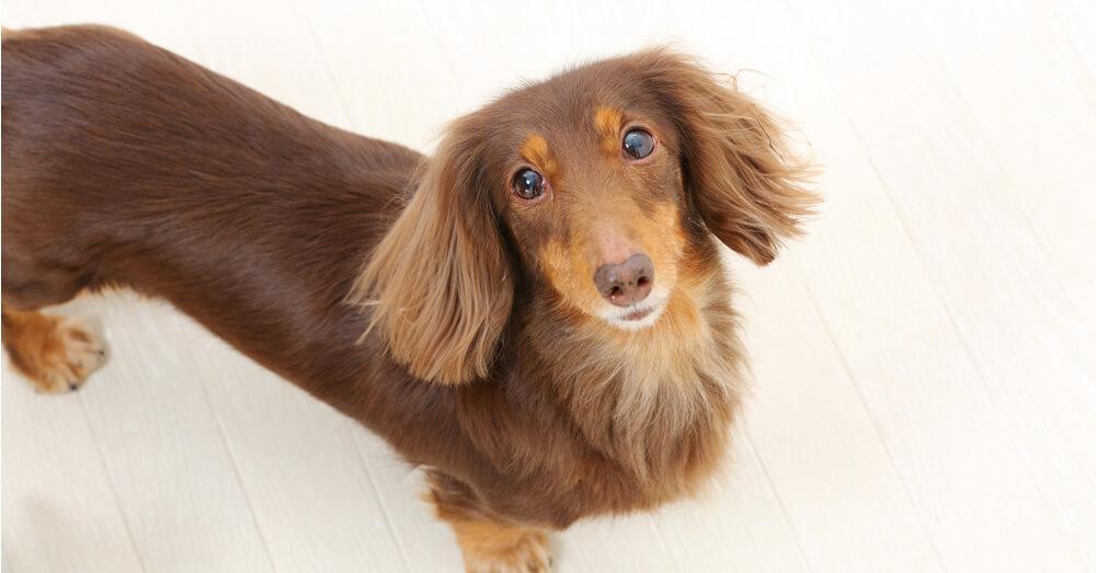 床に伏せる犬の写真